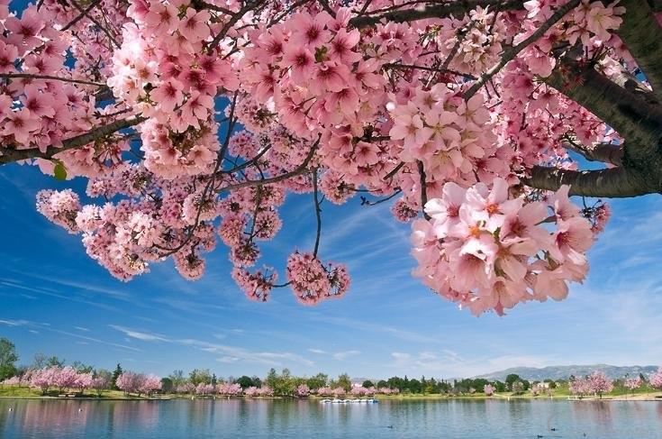 4cherry-blossoms-at-lake-balboa.jpg