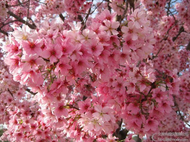 3cherry-trees-balboa550.jpg