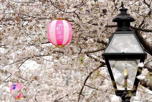 6cherry-blossoms.jpg