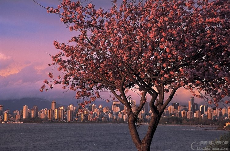 H12b-7Canada-British-Columbia-Vancouver-English-Bay-Cherry-Blossoms-Ryan-Tom-Tou.jpg