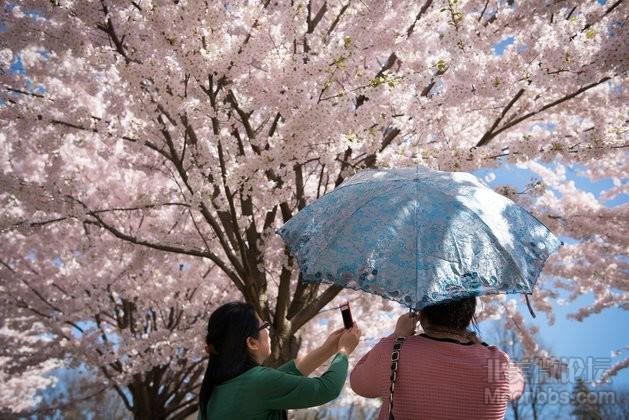 cherry_blossoms_20130505_topix_26818431.jpg