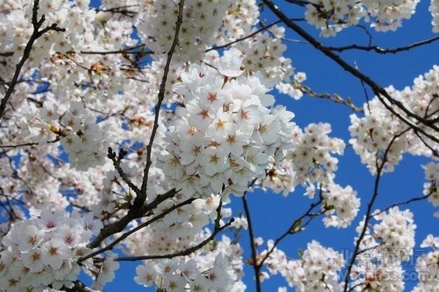 High Park-Cherry Blossom (12).JPG