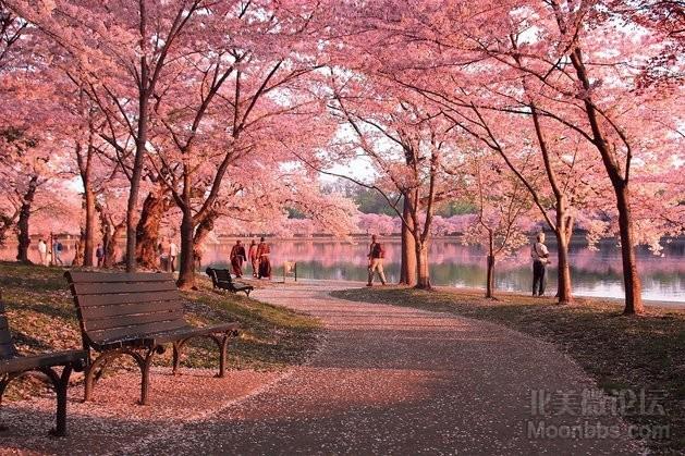 Cherry Blossom Path_forWeb.jpg