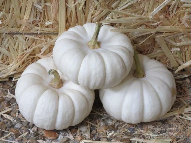 Cucurbita_pepo_small_edible_mini_White_Pumpkins_9.11.jpg