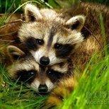 #经验#我和raccoon同居的日子