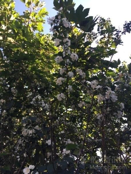 花树的全身照...开花的是同颗树